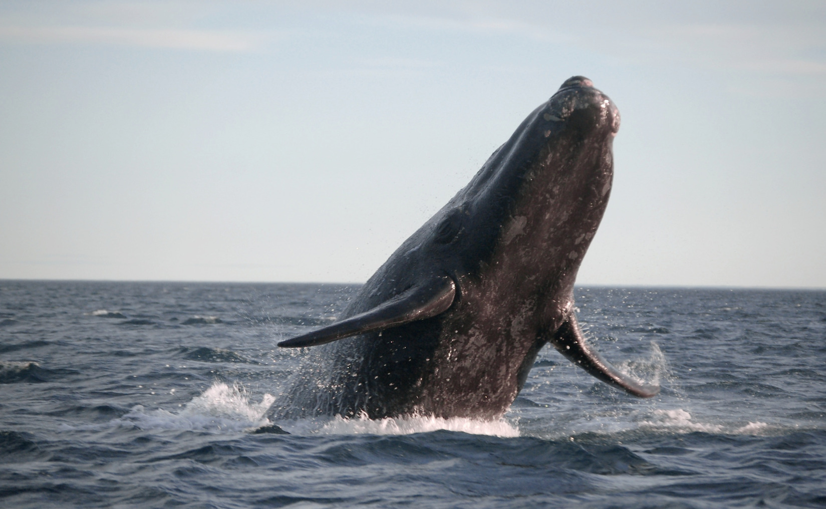 The 'Right' Whale to Watch in Cape Town