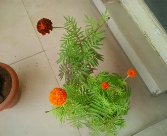 How to grow marigolds at home |Best Tips For Growing yellow orange Marigold (Genda Phool ) in Container / Pot in balcony