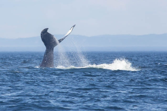 The Lowdown On Whale-Watching In Quebec, Canada