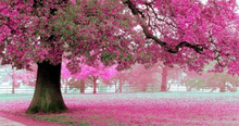 Fototavla, Rosa blommande träd