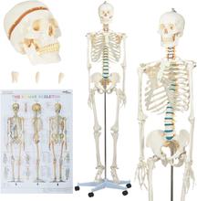 vidaXL Skelettmodell med affisch 181 cm