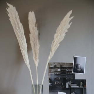Pampasgräs, Vit 6-pack - Förbokning