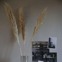 Pampasgräs, Natural 6-pack