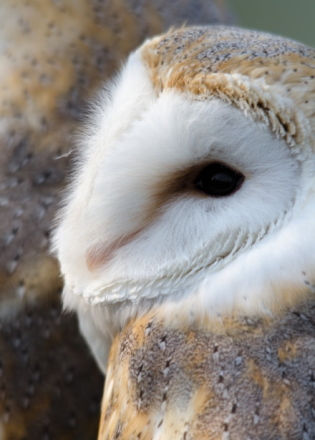 The Barn Owl - Tyto Alba is probably the most easily recognised owl, c