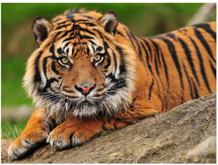 Scandinavian Artstore Fototapet - Sumatra Tiger - 200x154 cm