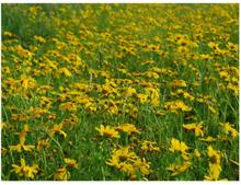Scandinavian Artstore Fototapet - En äng av gula blommor - 200x154 cm