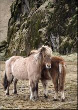 ICELAND HORSES - Poster 50x70 cm