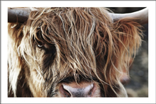 HIGHLAND CATTLE CLOSE UP - Poster 50x70 cm