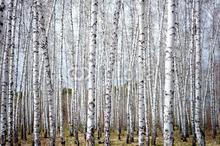 Skog av björkar