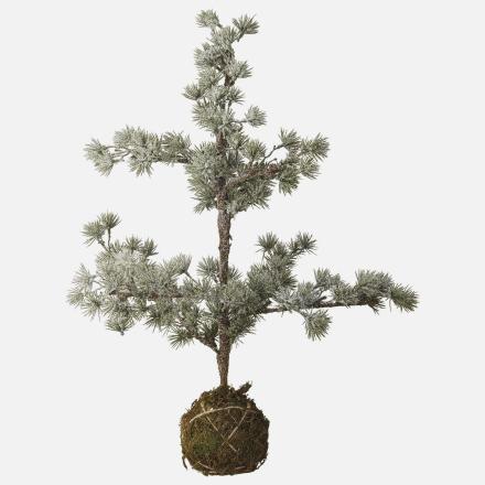 Cedar grantræ grøn