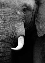 Poster Elefant - 50x70 cm