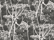 COW PARSLEY - 66/7046