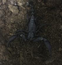 Asiatisk skov skorpion-Heterometrus laoticus XL