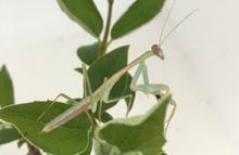 Knæler-Polysoilota aeruginosa