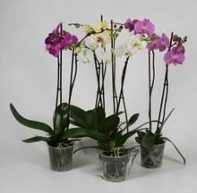 Orkidea, valkoinen/roosa/liila