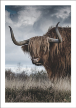 HIGHLAND CATTLE - Poster 50x70 cm