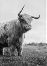 HIGHLAND CATTLE No 2 - Poster 50x70 cm