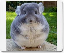 Musmatta - chinchilla djur grå 1