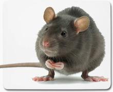 Musmatta - råtta djur 1