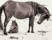 Wild horse with foal Poster