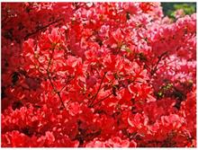 Scandinavian Artstore Fototapet - Rhododendron, Japanische azalea - 200x154 cm