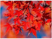 Scandinavian Artstore Fototapet - Red japanese maple - 200x154 cm