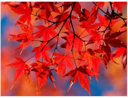 Scandinavian Artstore Fototapet - Red japanese maple - 200x154 cm