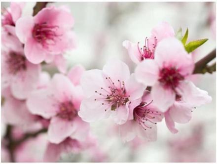 Scandinavian Artstore Fototapet - Spring, blommande träd - rosa blommor - 200x154 cm