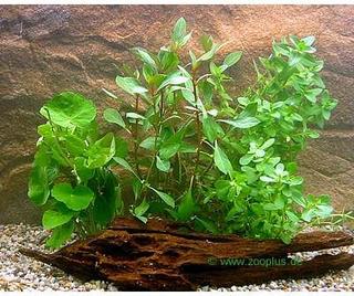 Akvarieplanter Zooplants Begyndersæt - 4 planter