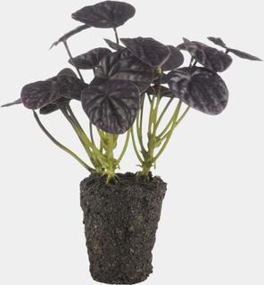 Flora kinesisk pengetræ lilla