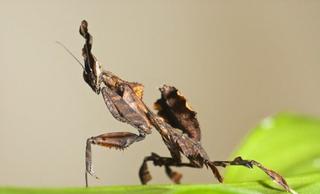 Ghost mantis-Phyllocrania paradoxa