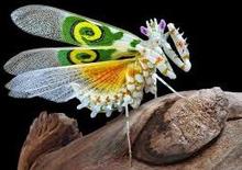 Blomster knæler-Pseudocreobotra wahlbergii