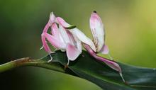 Orkide knæler-Hymenopus coronatus