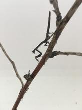 Afrikansk gren knæler-popa spurca