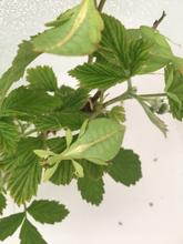 Vandrende blad-Phyllium philippincum