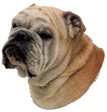 Hunddekal - Engelsk bulldogg (huvud)
