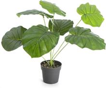 Plante Philodendron H:40cm