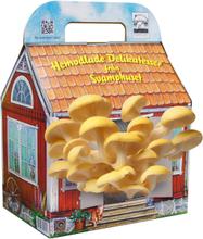 Keltainen osterivinokas sienitalo