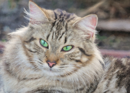 Portrait of a Green-eyed Maine Coon Cat