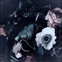 Nights in Paris – Ranunculus flower Poster
