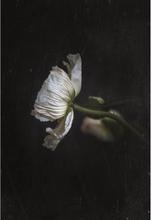 In dark stillness – Poppy flower Poster