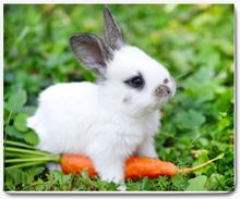 Musmatta - kanin unge med morot 1