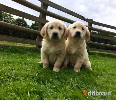 Underbara chunky golden retriever valpar
