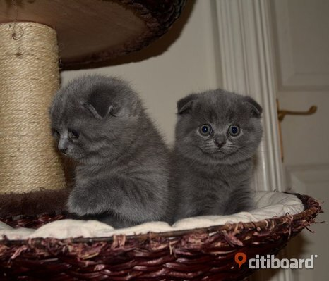 Scottish Fold Kittens till salu