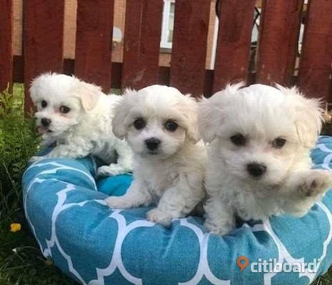 Kc Registered Maltese Terriers till salu