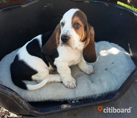 bassethound valpar(ismaellabrandt@gmail.com)