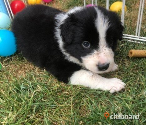 fantastiska Border Collie valpar