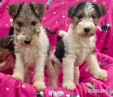 wirehaired fox terrier Pups