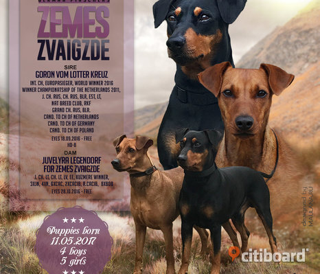 German Pinscher valpar